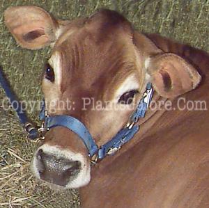 Cow-blog-21