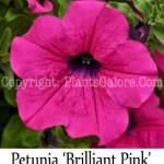 PGC-A-Petunia-Surfina-Brilliant-Pink-2-Edit