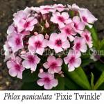 PGC-P-Phlox-paniculata-Pixie-Twinkle-2010-01-Edit