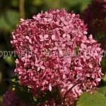 PGC-S-Hydrangea-arborescens-Invincibelle-Spirit-_1