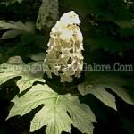 PGC-S-Hydrangea-quercifolia-2010-013