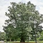 PGC-T-Quercus-x-benderi-aka-Bender-Oak-2