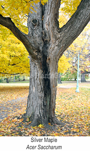 Silver-Maple-Hollow-