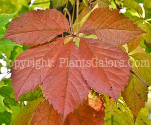 PGC-V-Parthenocissus-quinquifolia-aka-Virginia-Creeper-fall-3