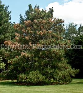 Pine-Disease-diplodia-005086