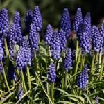 PGC-B-Muscari-botryoides-aka-Common-Grape-Hyacinth-10