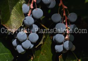 PGC-P-Mahonia-aquifolium-aka-Oregon-Grape-Holly-fruit-7