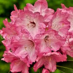 PGC-S-Rhododendron-Monterey-05-12-2
