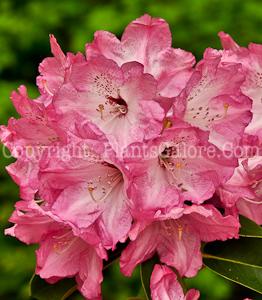 PGC-S-Rhododendron-Monterey-05-12-2
