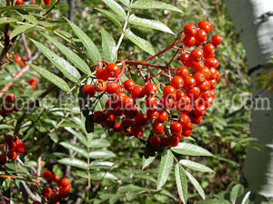PGC-T-Sorbus-aucuparia-aka-European-Mountainash-3